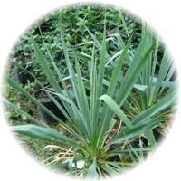 Wasabi Aloe Yucca revitaliser 100g